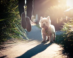 254 | 365 (angiel) Tags: jump jumping westie flare westhighlandterrier 2011 conversesneakers angiel 365project