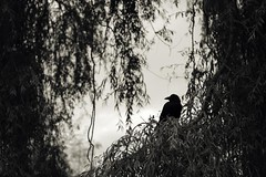 turning (sp_clarke) Tags: autumn sky tree fall birds silhouette vancouver stanleypark crow