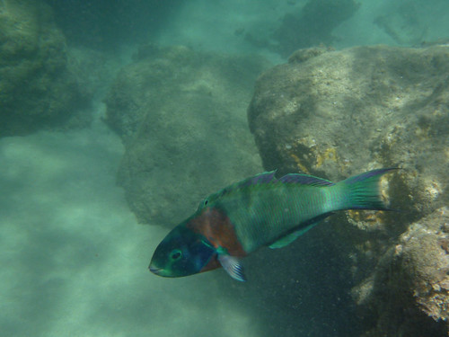 this little wrasse was following me around