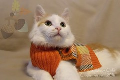 Fall Colors.. (KrazyBoutCats) Tags: cats pets fall animals fallcolors kittens felines orangesweater kittenwearingsweater
