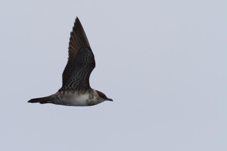 092411_bird_pomarineJaeger01