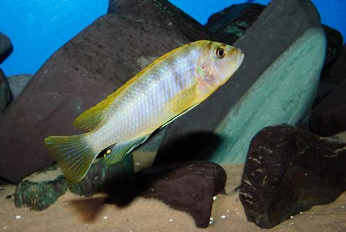 Labidochromis sp. 'hongi' Hongi Island