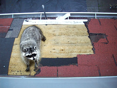 Raccoon rooffer (Nelley) Tags: roof raccoonnaturetress