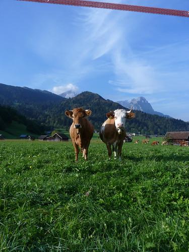Kuhimpressionen aus Garmisch-Partenkirchen