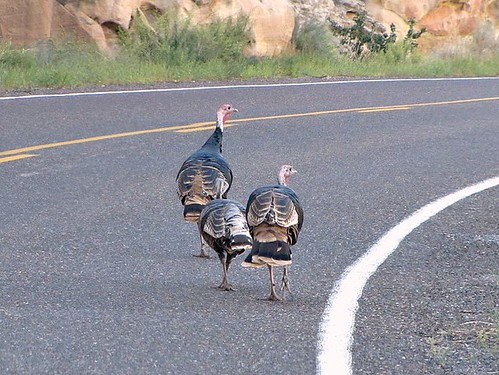 IMG_3344_Turkeys_Capitol_Reef_National_Park