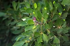 Anna's Hummingbird 100311-3 (luluhachidori) Tags: california pink orange bird canon eos hummingbird purple allens southern 7d annas costas ハチドリ コスタ allofnatureswildlifelevel1 allofnatureswildlifelevel2