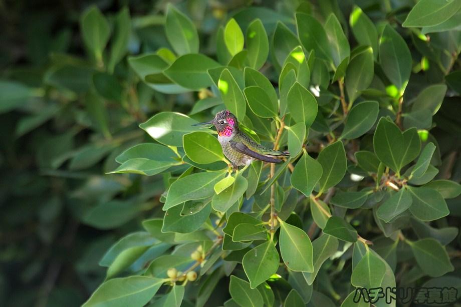 Anna's Hummingbird 100311-3