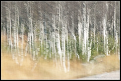 Abstract Birches (mmoborg) Tags: blur speed sweden fart birch sverige oskrpa 2011 bjrkar mmoborg mariamoborg thepinnacle20111004