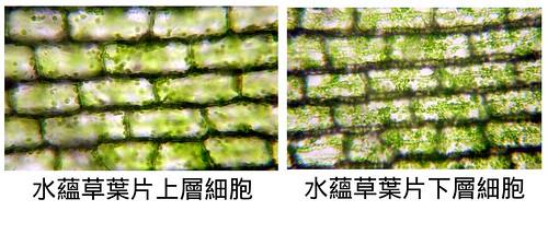 水蘊草上層和下層細胞比較.xcf