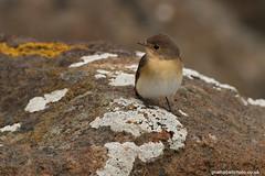 RedBreastedFlycatcher1011 61##### (gcampbellphoto) Tags: canon northernireland vagrant portrush rarity rarebird redbreastedflycatcher