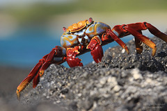 Sally Lightfoot Crab (Grapsus grapsus) (mikel.hendriks) Tags: southamerica ecuador marine wildlife ngc crab explore krab santacruzisland sallylightfoot galpagos zuidamerika sallylightfootcrab cerrodragon grapsusgrapsus redrockcrab galpagosislands animalkingdomelite canoneos50d abuetenegro sigma120400mmf4556apodgoshsm sallylightfootkrab roderotskrab circulairpolarizingfilter galpagoseilanden