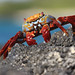 Sally Lightfoot Crab (Grapsus grapsus)