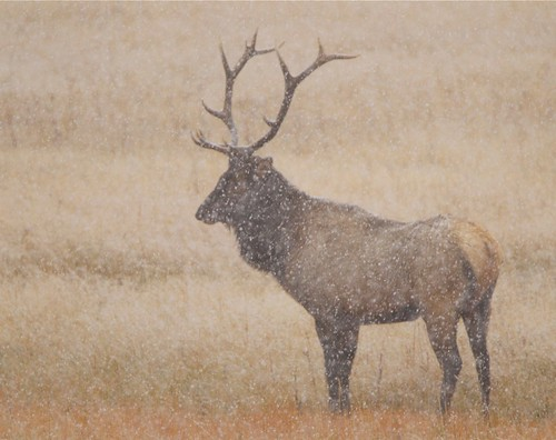 7x6 bull elk in Yellowstone's first fall snow. by Mark/MPEG (Midwest Photography Enthusiasts Group)
