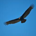 King vulture - Sarcoramphus papa thumbnail