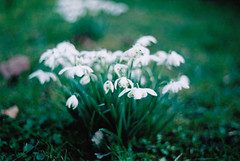 Snowdrops (Saturated Imagery) Tags: flowers film woodhousemoor fujicolorc200 prakticatl5b