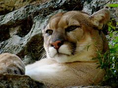 Mountain Lion (robertvena) Tags: cats nature animals zoo wildlife lion bigcats mountainlion
