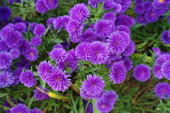 Purple Petals (keithmaguire ) Tags: park flowers flower verde green nature asian petals flora asia asien groen purple natural south grand korea vert korean seoul childrens asie grn southkorea gu  aasia asya zielony  hijau azia azi core gwangjin  corea yeil sia  berde sdkorea  selatan   coreia  chu xanh coreadelsur  gunja  hnquc       zsia     gwangjingu gneykore     gunjadong