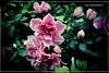 Soft Autumn Morning (Vinu Thankachan) Tags: morning pink cute leaves garden leaf nice nikon soft pinkflower breeze flowe niceflower gardenflower autumnbreeze cuteflower softmorning d3100 nikond3100 softautumnmorning autumnmorningautumn