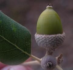 Quercus ilex subsp. ballota am Weg zur Ermita de Betlem, NGIDn2033758190 (naturgucker.de) Tags: spanien balearen quercusilex steineiche ermitadebetlem naturguckerde cwolfgangkatz ngidn2033758190