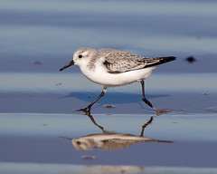 Bird on the run (Andrew Haynes Wildlife Images) Tags: bird nature wildlife norfolk sanderling titchwell rspb wader ajh2008