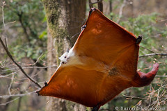 Giant Flying Squirrel (Will Burrard-Lucas | Wildlife) Tags: china flyingsquirrel