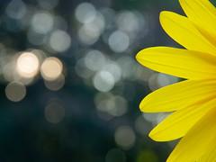 suns (m.budde) Tags: flower pen licht bokeh olympus sunflower blume boke sonne sonnenblume 14150mm flickraward epl1 flickraward5 mygearandme mygearandmepremium mygearandmebronze mygearandmesilver mygearandmegold flickrawardgallery blinkagain