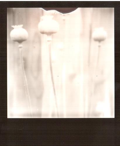 silvershade :: poppypods