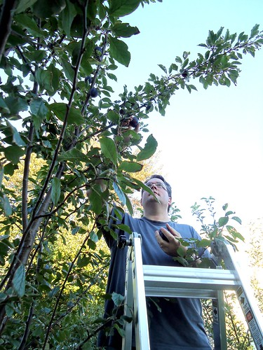 plum picker