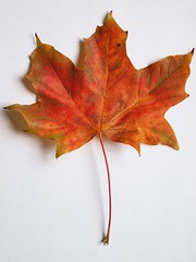 Day 253 - Autumn Leaf (253/365) (lordminty) Tags: from camera autumn two brown color colour tree glass colors oneaday k project catchycolors lens eos three diy leaf focus day colours pentax zoom sigma olympus pb mount hundred adapter photoaday converted mf 365 manual pk straight pentacon legacy praktica ef stacked e600 thirds pictureaday fifty 253 adapters 70210mm 2011 prakticar f456 project365 sooc day straightoutofcamera project365253 olympuse600 twohundredandfiftythree 43 43rds catchycolorsbrown project36510sep11 253 project365091011 andfiftythree