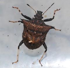Spiky scutellerid (joe with a camera) Tags: china nanjing shieldbug scutelleridae whitehorsepark