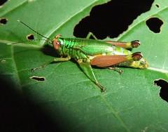 Short-Horned Grasshopper (Dis da fi we) Tags: shorthornedgrasshopper grasshopper puntagorda toledodistrict belize toledo hickateebelize hickateepuntagorda jungle rainforest forest wildlife culture cottages hickatee
