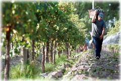 Argentina: El 70% de los viñedos es de alta calidad