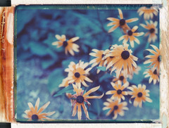 (jeffreywithtwof's) Tags: flowers film jeff analog polaroid 1999 instant hutton expired blackeyedsusan 108 graflex speedgraphic packfilm jeffhutton jeffhuttonphotography jeffreyhutton