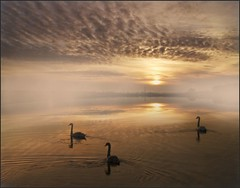 The Young Ones! (adrians_art) Tags: winter sky cloud mist water birds fog sunrise reflections rivers muteswans
