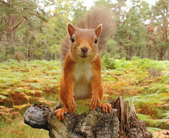 Up Close and Personal (Highland Andy (Andy Howard)) Tags: red cute andy scotland squirrel wildlife highland aviemore nbw specanimal