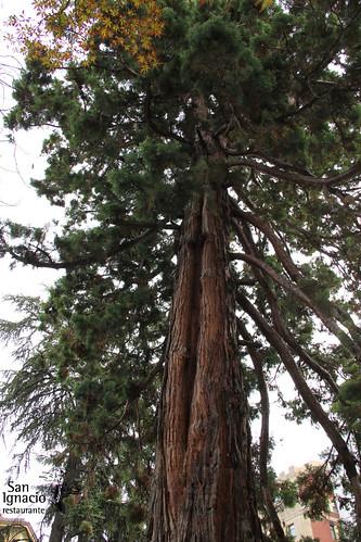 Sequoia del jardín de Diputación