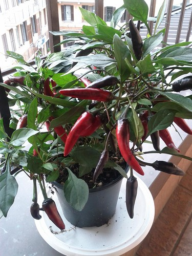 Pepperoncino - hot pepper plant, Italy