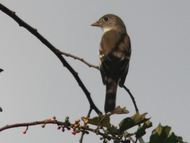 Eastern Wood-Pewee 20110919