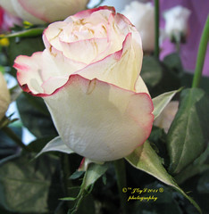 Pink-trimmed white rose Rosa blanca con ribetes rosa 2011 (Pepe (ADM)) Tags: madrid white flower nature rose spain flor rosa blanca pepe con 2011 ribetes pinktrimmed