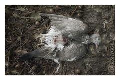 Hst (Myrkwood666) Tags: wood autumn bird fall forest death dove herbst herfst end mementomori fade melancholy taube bos wald tod dood vogel ende duif einde melancholie seelenwinter mrkskygge myrkwood666