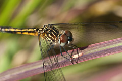 What pretty eyes you have (violetflm) Tags: insect native dragonfly september il glenview bluedasher airstationprairie d300s 45orless d3s8743