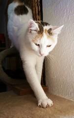 a biiiiiiiig step towards an exciting new day (Joa Chim) Tags: pet cats pets cat gina katze katzen