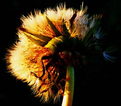 A frosty morning dandy (peggyhr) Tags: peggyhr dandelion seedhead sunrise light dark shadow black green blue yellow backlit closeup frost p1010395cp bluebirdestates alberta canada this1only1object photohobbylevel1 blinkagainforinterestingimages gallery naturespotofgoldlevel1 naturescarousel mygearandme nossasvidasnossomundoourlifeourworld doubledragonawards dragonflyawards heartawards thethreeangelslevel1blueangel flickrbronzeaward friends 25faves composersbreath macroshot thegalaxy redgroupno1 lomejordemisamigos 100commentgroup mygearandmepremium myfriendsgalleries