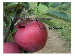 Parts of the Apple Tree: Spur and Bourse Shoot