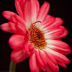 Red Star (David S Wilson) Tags: flowers red england gerbera daisy ely lightroom lr3 2011 wonderfulworldofflowers olympuspenep1 leica45mmf28macrolens