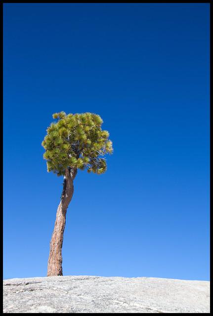 Yosemite lone tree