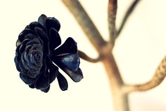 bejeque (rromer) Tags: flowers 50mm dof f14 highkey lapalma tajuya bejeque afsnikkor50mmf14g