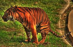 Tigerrhea (ozoni11) Tags: cats nature animal animals cat zoo washingtondc dc washington nikon tiger bigcat tigers nationalzoo hdr bigcats zoos diarrhea d300 michaeloberman ozoni11
