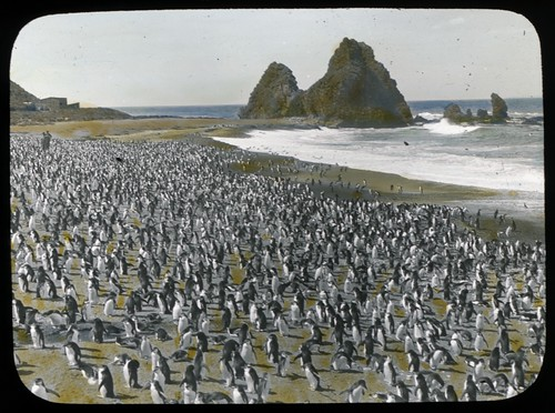 [Royal penguins and two men on Nuggets Beach, Macquarie Island, Australasian Antarctic Expedition, 1911-1914]