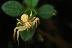crab spider (jamspangle) Tags: flickrchallengegroup flickrchallengewinner
